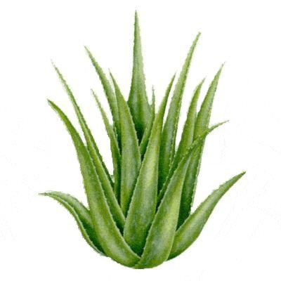 Aloe Vera comme plante dépolluante
